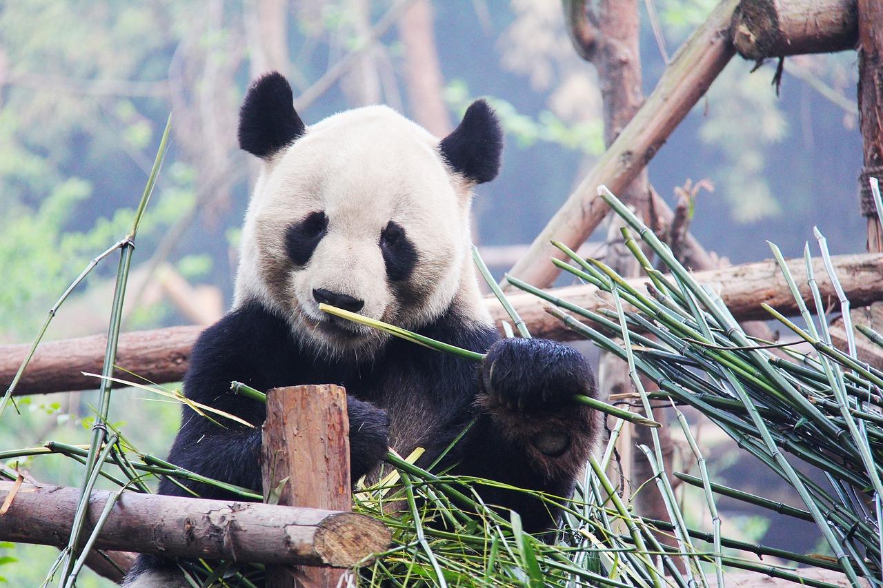 Naar de Panda's met Danerolles